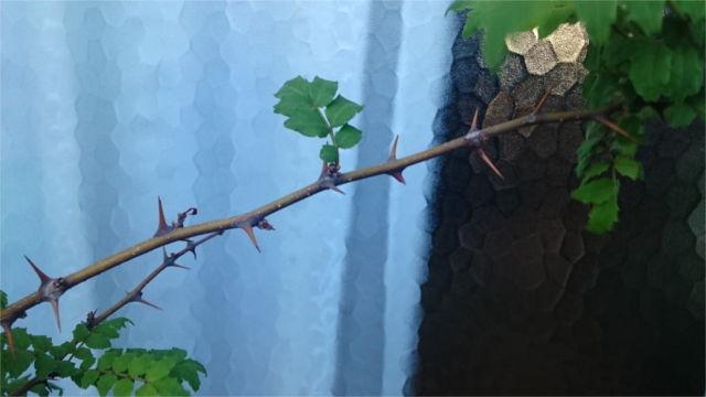 山椒のトゲ