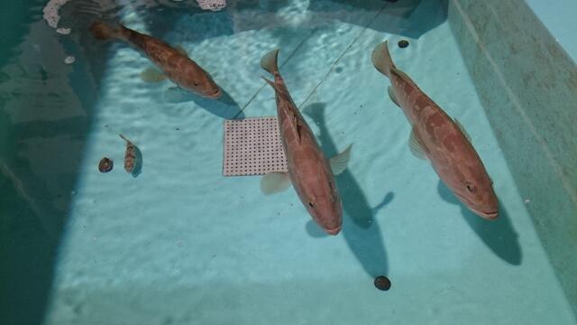 いけすで泳ぐアラ