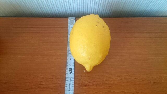 一番大きいレモンは10cm