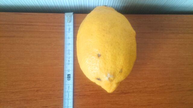 一番大きいレモンは約13cm