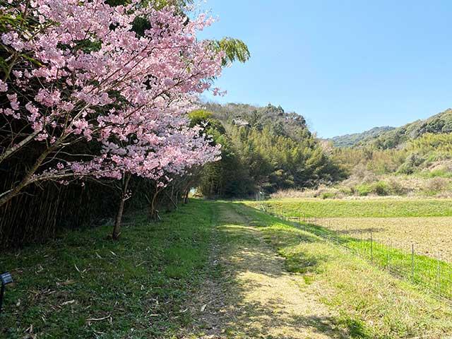 大棚トンネル周辺の桜